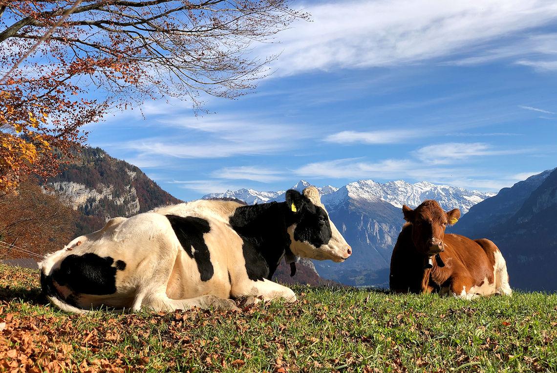 zwei liegende Kühe, im Hintergrund die Haslitaler Berge